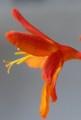 [花][ひおうぎすいせん]ひおうぎすいせん