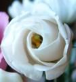 [花][とるこききょう]とるこききょう