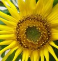 [花][ひまわり]ひまわり