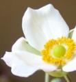 [花][秋明菊]秋明菊白