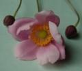 [花][秋明菊]秋明菊ピンク