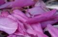 [花][秋明菊]秋明菊赤花びら