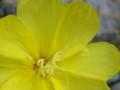 [花][まつよいぐさ]まつよいぐさ