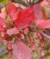 [花][にしきぎ]にしきぎの実と紅葉