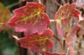 [花][つた]つたの紅葉