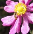 [花][秋明菊]秋明菊赤