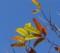 栗の葉の黄葉