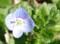 いぬのふぐりの花