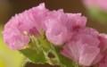 [花][スターチス]スターチス