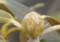 白しゃくなげ花芽