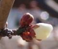 [花][梅][亀甲紋]梅
