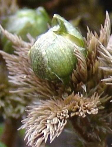 福寿草つぼみ