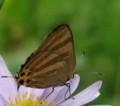 [蝶][トラフシジミ]トラフシジミ