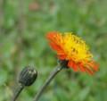 [花][タンポポ]コウリンタンポポ