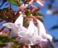 [花][ウツギ]ハナツクバネウツギ