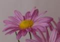 [花][菊]小菊