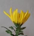[花][菊][笑顔届け隊!]菊