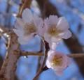 [花][冬桜][笑顔届け隊!]冬桜