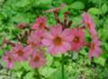 [花][九輪草]九輪草
