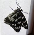 [蝶]ゴマダラチョウ