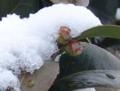 [花][椿]椿つぼみ