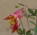 [花][カナダおだまき]カナダおだまき