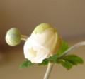 [花][秋明菊]秋明菊咲き始め
