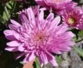 [花][菊]菊