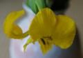 [花][黄しょうぶ]黄しょうぶ