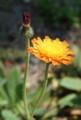 [花][たんぽぽ]こうりんたんぽぽ