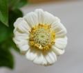 [花][百日草]百日草