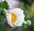 [花][秋明菊]秋明菊