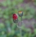 [花][コウリンたんぽぽ]コウリンたんぽぽつぼみ