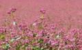 [花][そば]赤そば