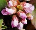 [花][ヒマラヤゆきのした]ヒマラヤゆきのしたつぼみ