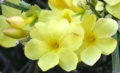 [花][黄梅]黄梅