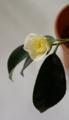[花][白椿]挿し木をした白椿