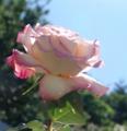 [花][ばら][亀甲紋][背景有]ばら