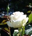 [花][ばら][亀甲紋]ばら