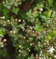 [花][雪柳]雪柳つぼみ