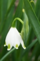[花][水仙]鈴蘭水仙