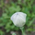 [花][ききょう]ききょうつぼみ