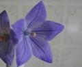 [花][ききょう]ききょう