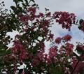 [花][百日紅]百日紅