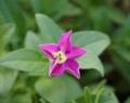[花][ペチュニア]ペチュニア咲きはじめ