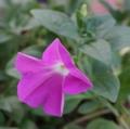 [花][ペチュニア]ペチュニア