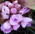 [花][ヒマラヤゆきのした]ヒマラヤゆきのした