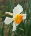 [花][水仙]水仙