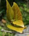 [花][白椿]挿し木をした白椿の芽