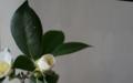 [花][白椿]白椿咲き始め